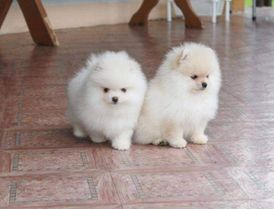 Male and female pomeranian puppies