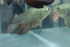 Medium size healthy oscar fish