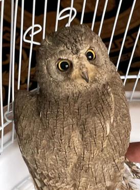 Mini owl very friendly