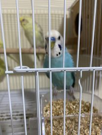 Birds male and female for sale