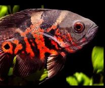 Oscar Fish Medium Sizes 2 Fishes urgent sale