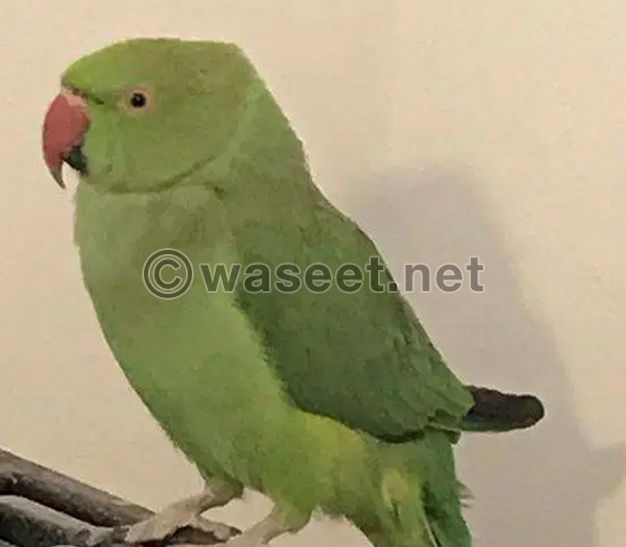 Parrot with her cage urgent sale