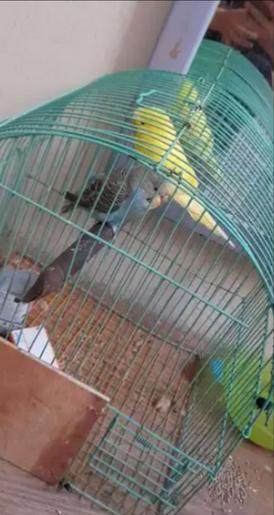 Parrots for sale