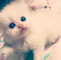 Persain cat for sale white color