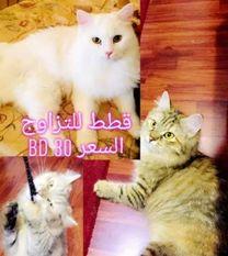 Persian cat moonface