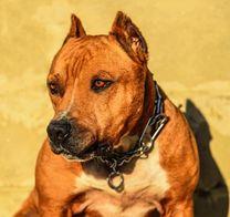 كلب بيتبول مطعّم و مدرب الدفع باللبناني