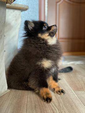 PomeranianTiny puppies