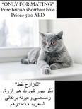 Pure Scottish & British shorthair FOR MATING ONLY 1