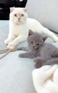 Pure Scottish & British shorthair FOR MATING ONLY 2