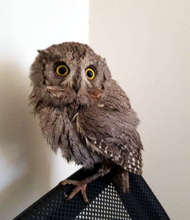 Pygmy Owl for sale