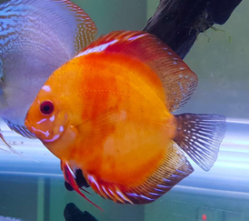 Red discus for sale