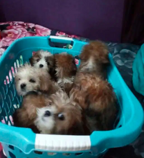 Shihtzo puppies for sale