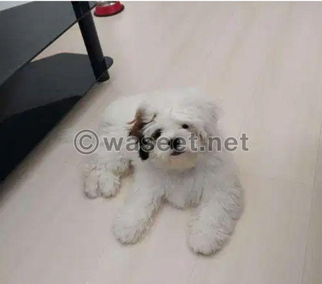 Shihtzu puppy for sale