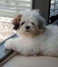 Shihtzu puppy for sale 1
