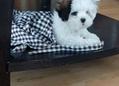 Shihtzu puppy for sale 2