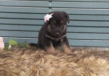 Strong German Shepherd puppies available