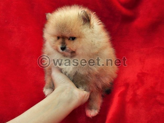 Top Quality Kc Reg* Pomeranian Puppies