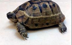 Tortoise (African Spurred Tortoise)