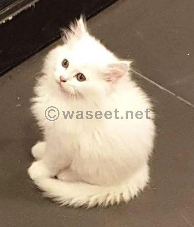 White persian kitten for sale