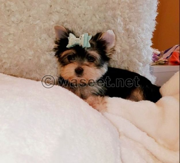 beautiful Yorkshire Terrier puppies available.