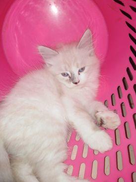 قطط للبيع شهرين ونص
