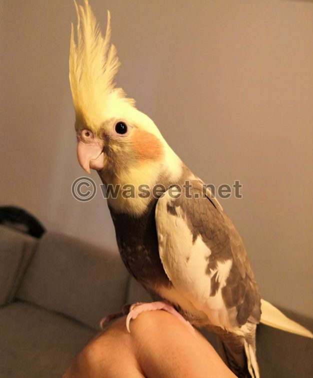 cockatiel birds tamed, healthy and will never bite