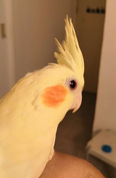 cockatiel birds tamed, healthy and will never bite 2