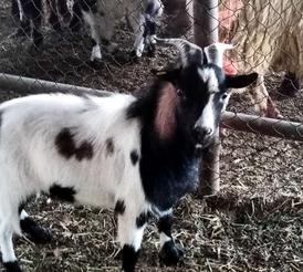 dwarf goat for sale