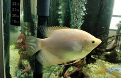 giant gourami fish