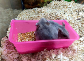 grey colour Campbell hamsters