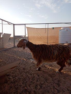 local breed female goat