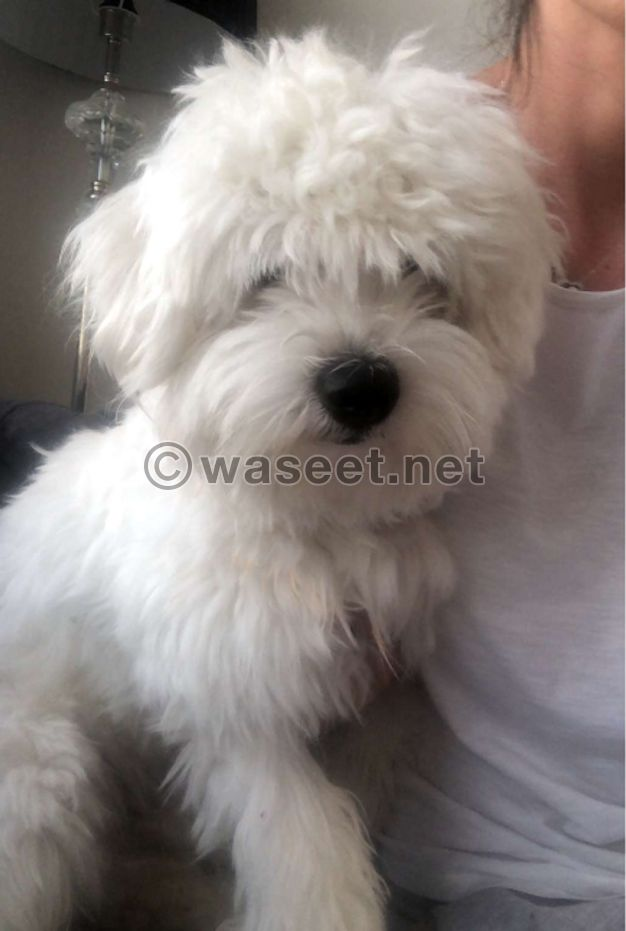 male maltese 11 month old imported