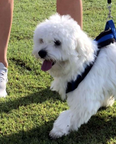 male maltese 11 month old imported 1
