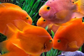 parrot fish for sale