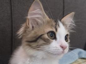 For sale female cat mix shirazi