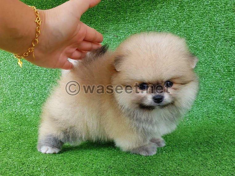 Mini Pomeranian for sale