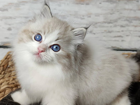 Trained Ragdoll     kittens for Sale