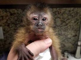 Playful Capuchin Monkeys  for  sale