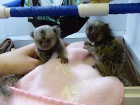 trained Marmoset  Monkeys  for  sale