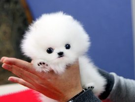 white Pomeranian   Puppies for sale