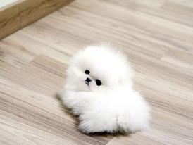 Adorable white Teacup Pomeranian