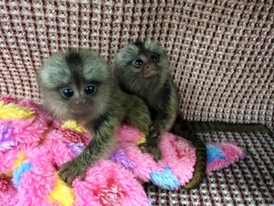 vaccinated  Marmoset  Monkeys for Sale