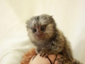 Healthy Marmoset Monkeys  for  sale