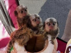 Three  Marmoset  Monkeys for Sale