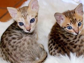 Savannah Kittens for sale 13