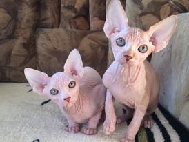 Sphynx Kittens for sale 14