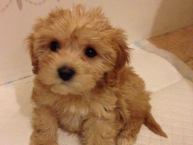 Toy Poodle puppies for sale 15