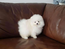 Trained Pomeranian Puppies for sale 12