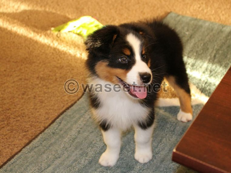 Australian Shepherd Puppies 0