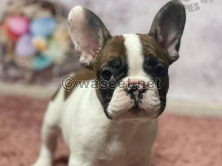 French Bulldog Puppies Kc Registered 0
